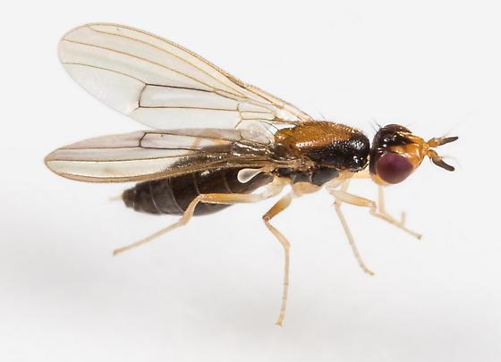 Fly - Psila collaris - female