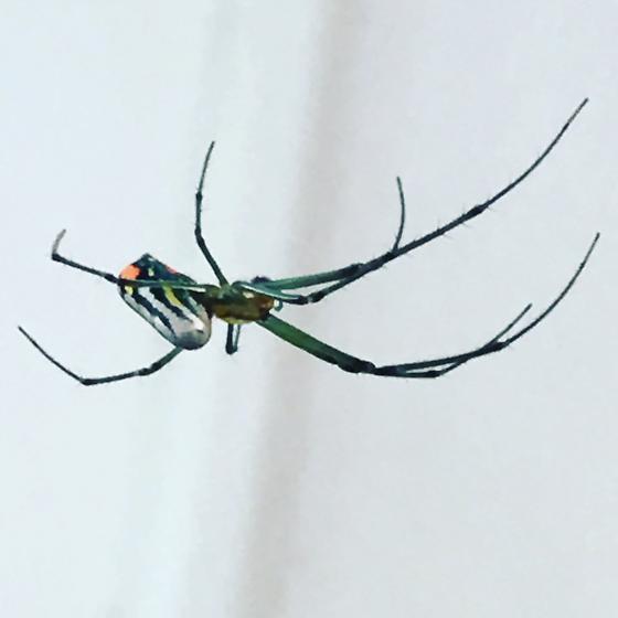 Garden spider - Leucauge venusta