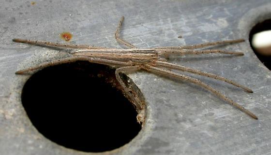 Tibellus chamberlini - female