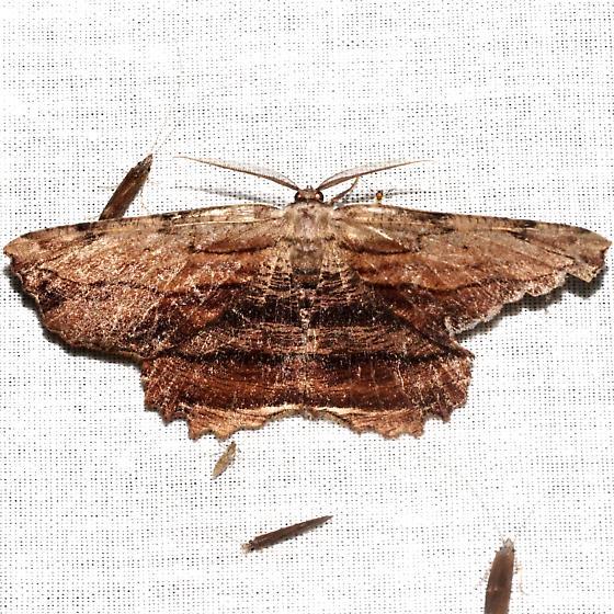 Common Lytrosis - Hodges#6720 - Lytrosis unitaria