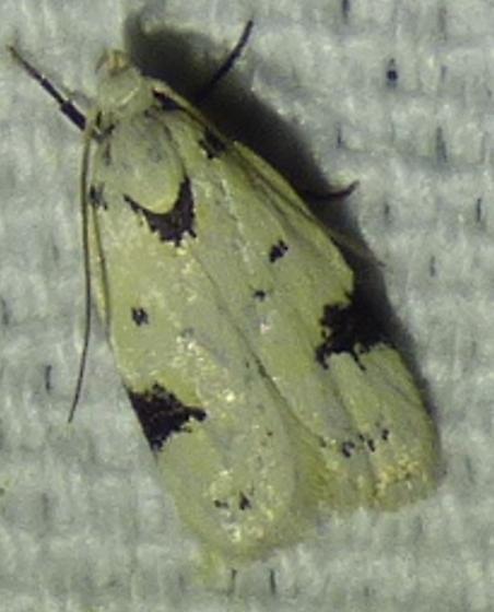 Inga sparsiciliella - Black-marked Inga Moth - Inga sparsiciliella