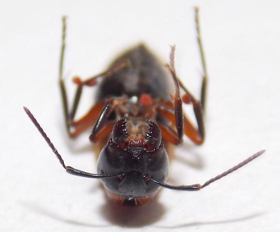 Unknown Camponotus sp., queen? - Camponotus novaeboracensis