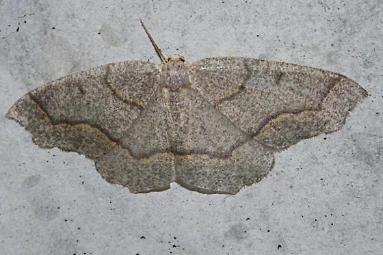 Hemlock Looper - Lambdina fiscellaria
