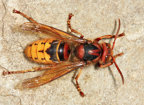 European Hornet - Vespa crabro - female