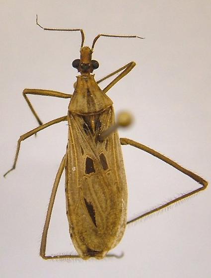 Reduviidae - Narvesus carolinensis - Narvesus carolinensis
