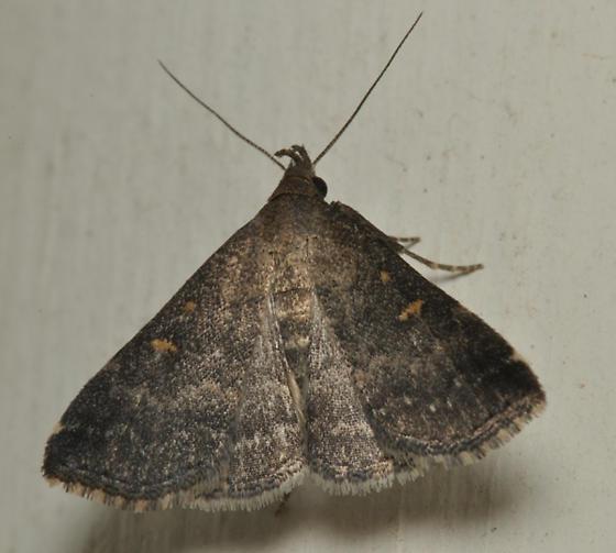 Black moth with copper eyes - Tetanolita mynesalis - female