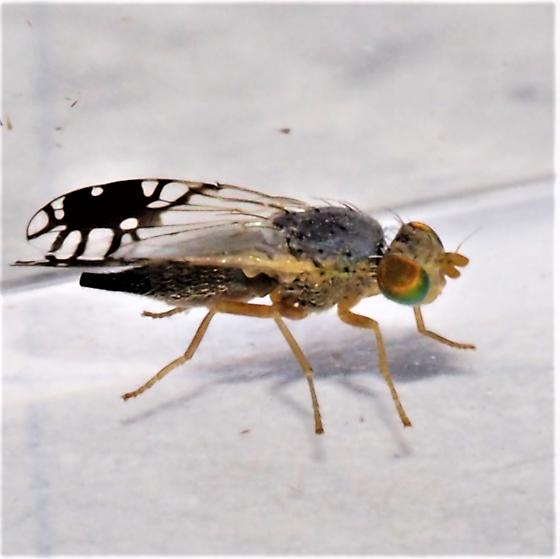Diptera ID Request - Trupanea vicina