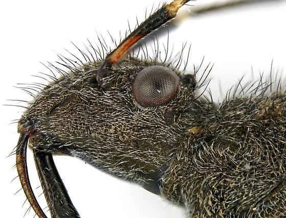 Alydus eurinus? - Alydus eurinus