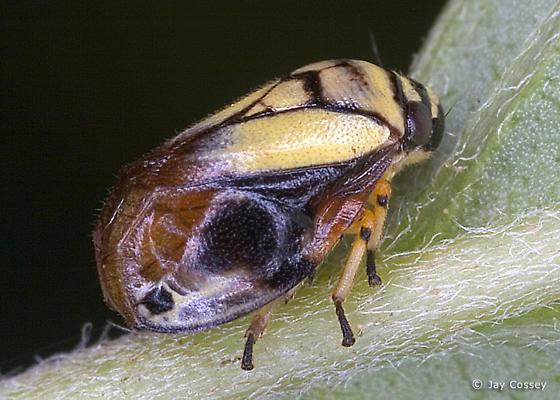 Backwards Spittlebug - Clastoptera proteus