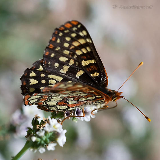 Variable Checkerspot from Pinnacles NM - Euphydryas chalcedona