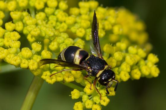 Thick-headed wasp - Euodynerus hidalgo