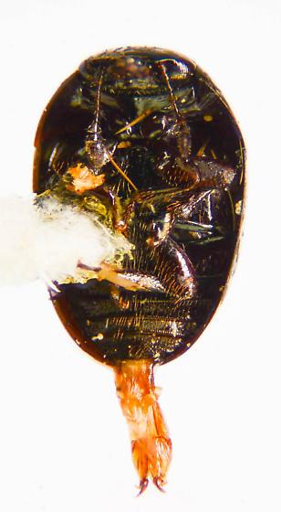 Microweisea? - Phalacrus - female