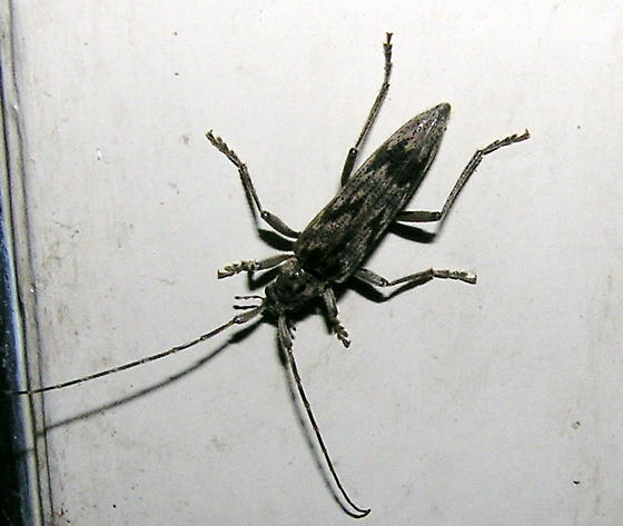 Long-horned Beetle - Elytrimitatrix undata