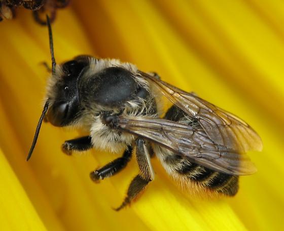 Megachilid - Megachile perihirta - female