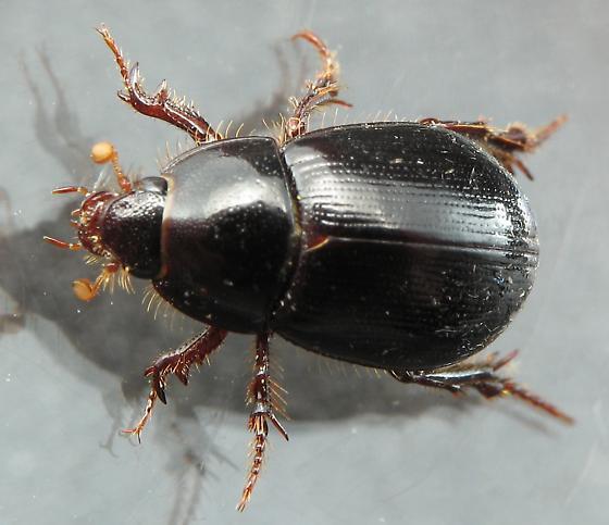 Hybosorus? - Hybosorus roei