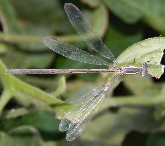 Damselfly - Lestes alacer - female