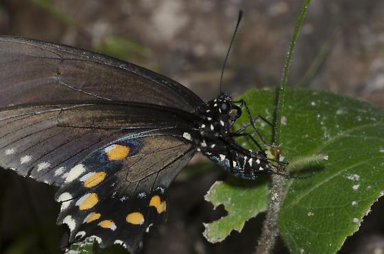 Pipevine Swallowtail ovipositing - Battus philenor - female