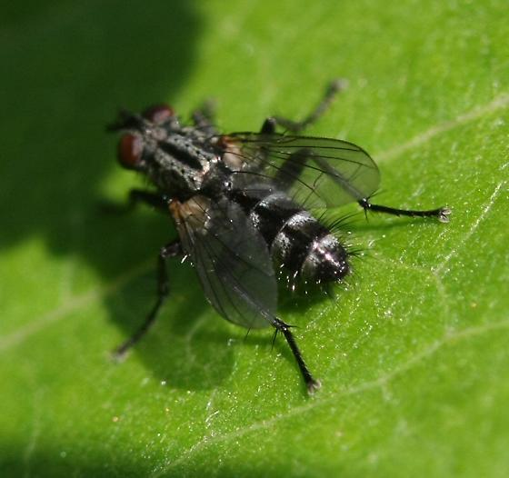 Fly - Stevenia deceptoria