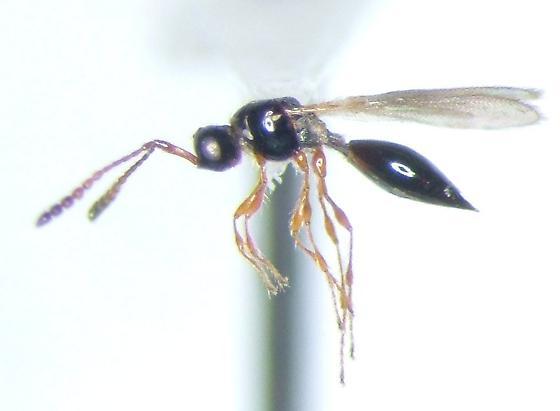 Diapriid 02 - Trichopria - female