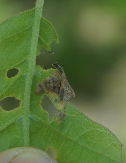 blotch mine on black oak - Japanagromyza viridula