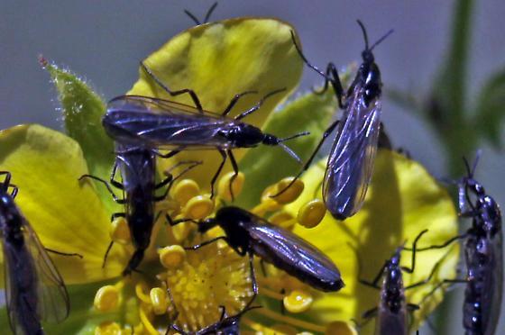 Long-horned fly - Exiliscelis californiensis