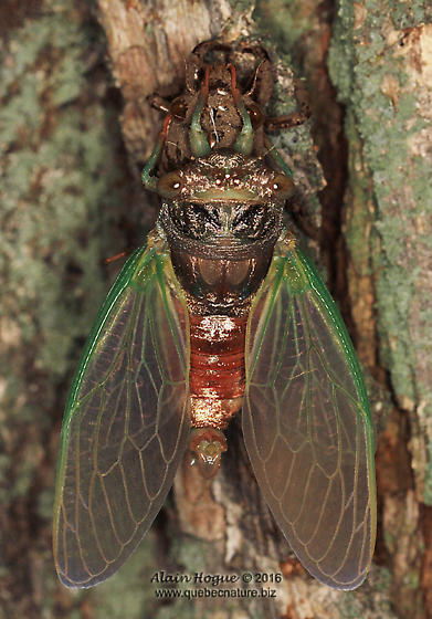 Cicadinae (birth of a singer) - Neotibicen canicularis