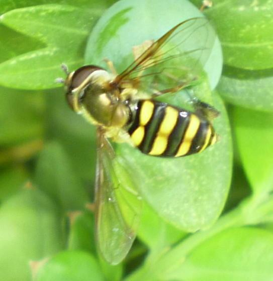 Syrphidae (Eupeodes?) - Eupeodes