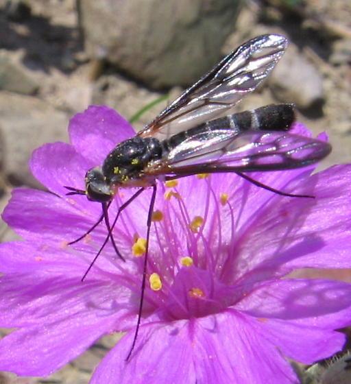Dunno, a fly? - Thevenetimyia maculipennis