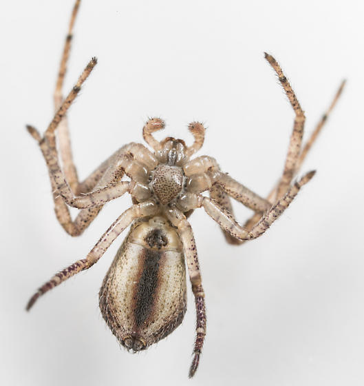 Tmarus angulatus - female