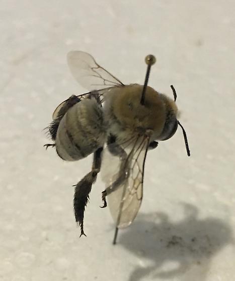 Digger bee? - Centris