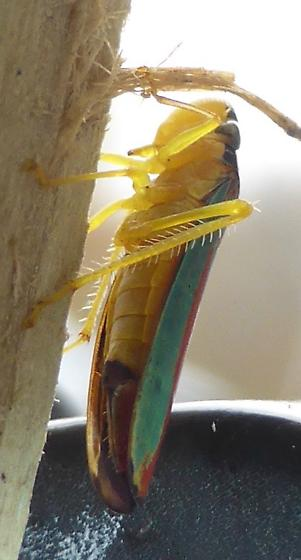 Sharpshooter - Graphocephala