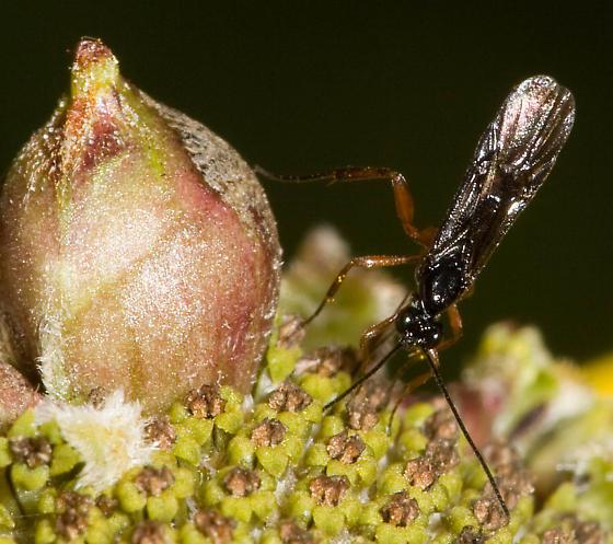 Wasp ovipositing on flower - female