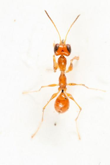 another lovely ant mimic - Esagonatopus niger
