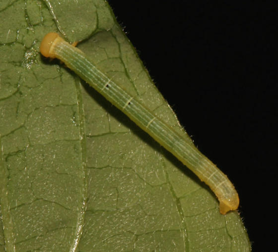 Geometridae on Dogwood - Cleora projecta