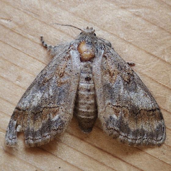Erebidae: Dasychira vagans? - Dasychira - female