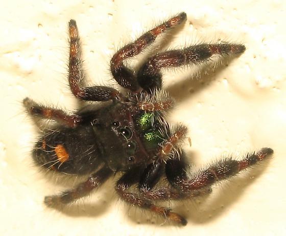 Indoors Salticidae - Phidippus audax - female