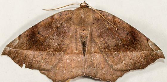 ?Curve-toothed Geometer - Hodges#6966 - Eutrapela clemataria