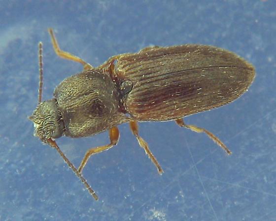 under-rock click beetle - Hypnoidus abbreviatus