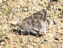Desert Cloudywing Achalarus casica - Achalarus casica