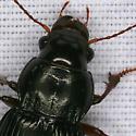 Ground Beetle 1730 - Amara aulica