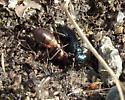 Dark Wasp - Dryudella caerulea