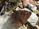 Northern Cloudywing (Thorybes palydes) ? - Erynnis horatius