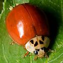Harmonia axyridis - Multicolored Asian Lady Beetle - Harmonia axyridis