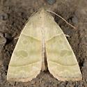 Ipimorpha viridipallida
