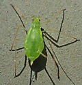 Green aphid with long antennae and siphunculi - Macrosiphini?