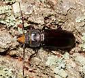 Hardwood Stump Borer - Mallodon dasystomus - male