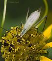Tree Cricket on Composite - Oecanthus nigricornis - male