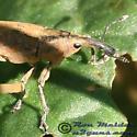 Snout Beetle - Lixus concavus