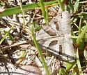 moth - Caenurgina