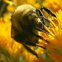 Bumblebee: Bombus appositus? - Bombus appositus